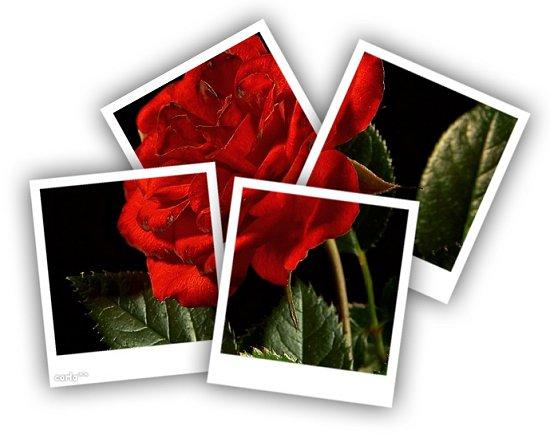 Puzzle di una rosa